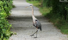 Large and in charge (Shannon Rose O'Shea) Tags: shannonroseoshea shannonosheawildlifephotography shannonoshea shannon greatblueheron heron bird beak yelloweye birdyfeet skinnylegs blue towpathtrail towpath wildwoodlake harrisburg pennsylvania nature wildlife waterfowl ardeaherodias green leaves art wildlifephotography wild photo photography canon canoneos80d canon80d eos80d 80d canon100400mm14556lisiiusm outdoors outdoor colorful trail giveusthisdayourdailyfred fred feathers wings