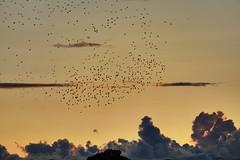 Starling murmuration and sunset clouds (rkramer62) Tags: september murmuration starlings grandvillemichigan rkramer62