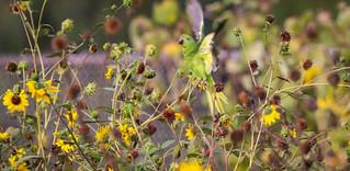 Rose-ringed Parakeet  Madrona Marsh Torrance California 424