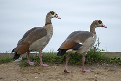 """Egyptian Geese - Hampstead Heath • <a style=""""font-size:0.8em;"""" href=""""http://www.flickr.com/photos/157241634@N04/36300060460/"""" target=""""_blank"""">View on Flickr</a>"""