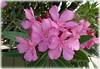 Laurier-rose (Kay Harpa) Tags: photokay flowers poster thinkingofjeanne sortoftransition entredeux paris france thebiggestgroup jardinduluxembourg