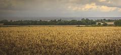 Incoming Storm. (Ian Emerson) Tags: storm nottinghamshire belvoir field thunderstorm wheat corn trees landscape outdoor