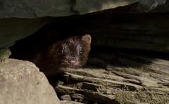 Curious Mink (Alexandre Légaré) Tags: nikon d3200 mink americanmink visondamérique vison neovison martinville wildlife curieux curious