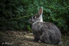 Rabbit/der Hase (dr Milosch) Tags: belgradeserbia avala canon 5dmk2 rabbit hase milosch tier