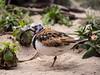 Ruddy turnstone (apmckinlay) Tags: animals aquarium birds nature monterey california unitedstates us