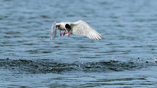 Fishing Tern