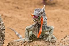 Wanna share? (Linda Martin Photography) Tags: food iguana aruba nature oranjestaad reptile caribbeansea orange animal coth alittlebeauty ngc npc coth5 sunrays5