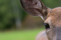Eye See You (Jenna.Lynn.Photography) Tags: macro close animal deer pet eye eyes pretty fur furry hair hairy fuzzy whiskers lashes green orange brown wildlife wild doe outdoor evening summer fall portrait nature new momma