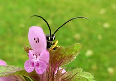 Hello..x (Lisa@Lethen) Tags: ichneumon wasp insect bug nature wildlife macro nettle flower