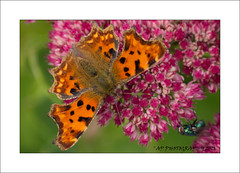 Comma Butterfly & fly (prendergasttony) Tags: ƒ56 2600 mm 1125 iso125 insect bug nature nikon d7200 outdoors wildlife farfella butterfly admiral flower elements border dof papillion garden pink white wings uk macro sedum autumnjoy fly orange comma