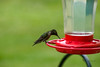 Hummingbird Drinking At The Feeder (Donald.Gallagher) Tags: animals birds de delaware hummingbirds lenstagger nature northamerica pikecreek public summer topazdenoise typecolor typelightroom typeportrait typeshutterbuttonfocus typetelephoto usa woodcreek
