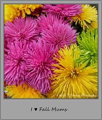 Chrysanthemum 17 (Michael J. Woerner) Tags: november fallmums asteraceae chrysanths autumcolors postermums chrysanthemum autumflower