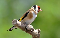 Goldfinch in the sun. (pstone646) Tags: goldfinch bird animal nature wildlife closeup elmley kent fauna green colours bokeh feathers