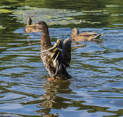 Drying Off-2 (SMPhotos2548) Tags: duck bird wings water lake pond reflection park nj newjersey verona