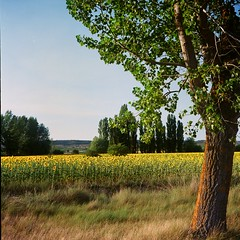 Castilla 2017 (davidgarciadorado) Tags: castilla sunflawers trees sunset 120 6x6 mediumformat rolleiflex zeiss planar kodak ektar film ngc
