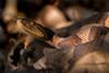 Northern Copperhead, Agkistrodon contortrix mokasen Palisot de Beauvois, 1799 (Misenus1) Tags: massachusetts animalia chordata reptilia squamata snakes viperidae agkistrodoncontortrix agkistrodoncontortrixmokasen taxonomy:kingdom=animalia taxonomy:phylum=chordata taxonomy:class=reptilia taxonomy:order=squamata taxonomy:family=viperidae taxonomy:binomial=agkistrodoncontortrix taxonomy:trinomial=agkistrodoncontortrixmokasen endangeredspecies
