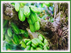 Fruits of Averrhoa bilimbi growing on the many branches of Averrhoa bilimbi (jayjayc) Tags: flickr17 jaycjayc malaysia kualalumpur green floweringplants averrhoabilimbi bilimbi bilimbitree cucumbertree treesorrel belimbingasambulohinmalay perennials tropicalplant fruits flowers