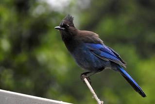 Steller's Jay 5-31-17 Ridgefield National Wildlife Refuge- Carty Unit