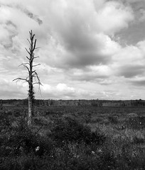lost tree (sephrocker) Tags: nature outdoors trees clouds blackandwhite monochromatic mono grain landscape