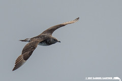 Pomarine Jaeger: Los Angeles County (gabrielgartner) Tags: california birding charadriiformes jaeger losangeles usa seabirds pomarine bird county pelagic