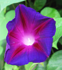Pretty in Purple by My Lovely Wife (Puzzler4879) Tags: flowers morningglories purple purpleflowers purplemorningglories lambertville lambertvillenewjersey drcanal delawareandraritancanal drcanalstatepark macro macroflowers flowercloseups a580 canona580 powershot canonpowershot powershota580 canonpowershota580 canonphotography canonaseries canonpointandshoot pointandshoot flowerphotography canals parks