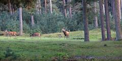 Burlen (doevos) Tags: otterlo gelderland netherlands nl edelhert bronst burlen npdhv nationaalparkdehogeveluwe hogeveluwe veluwe cervuselaphus reddeer cerfélaphe