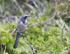 Florida Scrub-Jay  {Explore #1} (Grosbeak Guy) Tags: