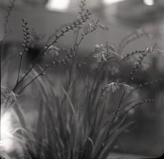blooming (Heliar test) (OhDark30) Tags: heliar 105cm f45 120 6x6 rollei retro 80s monochrome film square bw blackandwhite bwfp flowers