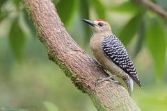 Hoffmann's Woodpecker (male) / Melanerpes hoffmannii (cheloderus) Tags: melanerpes hoffmannii woodpecker carpintero costarica