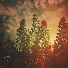 228 : 365 : VI (Randomographer) Tags: project365 sunset flowers sky clouds nature grow natural organic iphone mextures leaves plant 228 365 vi flower