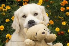 Dexter and his Teddy (Ruud.) Tags: ruudschreuder sony7m2 sony alfa 7 m2 batis 1885zeissbatis1885mmsonyalfasonyalphailce7m2sonyalphadslrportretportraitgolden retrieveroldenretrieverhondhondjedogdoggyhundchiendextermanmalefurrycuteliefhuisdierpetreuvillagillesa'stoyspeeltjeteddyteddybeerteddy bear