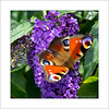 Peacock Butterfly (prendergasttony) Tags: farfalle butterfly nature colour outdoors lancashire elements nikon d7200 ƒ56 1050 mm 1500 iso320 bush garden peacock red eyes sunlight shadows green wild uk flori volanti butterflies square frame border hairy flower dof flora awesome animal insect