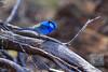 Splendid Fairy-wren (David de Groot) Tags: bird brokenhill malurussplendens mutawintjitrip splendidfairywren australia au