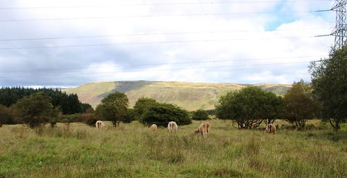 Shaggies - Highland Cattle