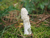 Stinkhorn plus. (dave p brecks) Tags: fungi stinkhorn olympus60mmmacro olympusem5markii