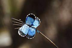 AfleurDEpeauDaoulas_20170818_001 (bourjean29) Tags: france bretagne britanny finistere daoulas abbaye religieux expodaoulas jeanbourgeois bourgeoisjean canon5dmk2 fleur bleu