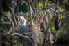 Spring Is Sprung (gecko47) Tags: bird birds cormorants darters australiandarter anhingamelanogaster nest sticks chick hatchling feathering mother pond spring breeding sandycamproadwetland lytton brisbane callistemon