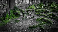 Moosgrün / mossy green (H.Roebke) Tags: colorkey de nature germany 2016 canon1635mmf28lisii natur trees niedersachsen flora lowersaxony grün green baum canon7dmkii lightroom wendthagen