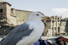Seagull (lonigropatrik2051) Tags: roma gabbiano