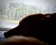 Hurricane Harvey in Texas!! (Kreative Capture) Tags: hurricaneharvey tyson pet dog sleeping rain bokeh texas nikkor nikon d7100 silhouette window drops golden retriever