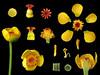 Nymphaeaceae Nuphar shimadai (taiwanicus) Tags: 兩性花 bisexual flower 柱頭 stigma 子房 ovary 雌蕊 pistil 雄蕊 stamen