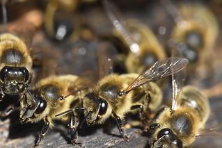Abeilles sans Reine ruche perdue