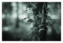 Quietness of the forest (Eckehard Straßweg) Tags: fujifilmxt2 wald nature natur outdoor ivy efeu tree baum bokeh fujinonlens blackandwhite splittoned