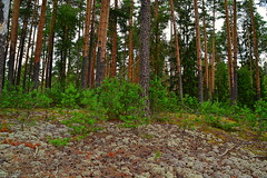 Growing on the lichens (МирославСтаменов) Tags: russia mordovia reserve dunes forest lichen slope hill pine spruce sapling understory