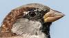 496.2 Huismus-20170828-J1708-58700 (dirkvanmourik) Tags: castricum housesparrow huismus passerdomesticus achtertuin nederland bird