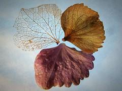 As time goes by... (pics by paula) Tags: macromondays evolution time change decay macro monday mondays petals skeleton closeup picsbypaula paulawayne