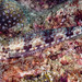Reef Lizardfish - Synodus variegatus