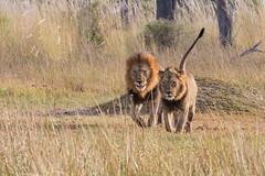 1C5A4028.jpg (donnatopham) Tags: campxanakaxa botswana