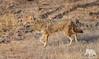 Golden Jackal (fascinationwildlife) Tags: animal mammal wild wildlife nature natur park india indien asia golden jackal schakal goldschakal predator forest djungle morning ranthambhore national