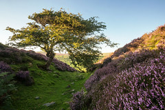 Maiden II (matrobinsonphoto) Tags: maiden castle ditch swaledale hill fort ancient iron age historic historical earthworks north yorkshire dales national park harkerside landscape nature natural light sunset sun golden hour blue sky purple heather tree lone bloom blooming flowering ling moor moorland moors summer scenic scenery uk british great britain england hills hillside valley